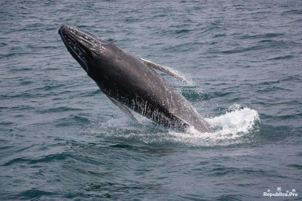 киты в Доминикане