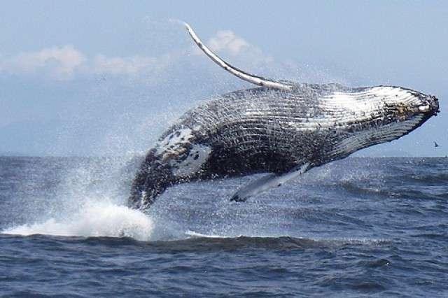 большие горбатые киты в доминикане фото 6